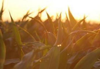corn morning dew