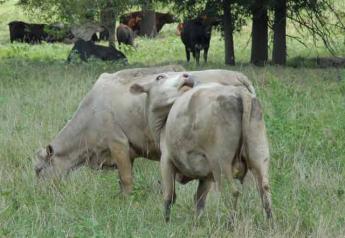 cow-swatting-flies