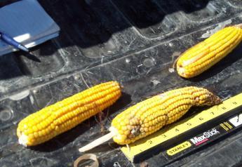 crop tour corn sample