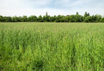 Organic wheat production