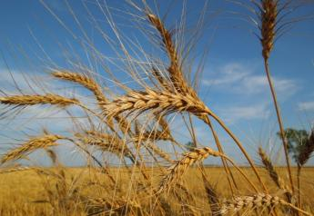 Wheat, ready for harvest, on Tony Nordick's farm near Kent, Minn.