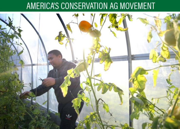 Ernest Pompey harvests tomatoes in the greenhouse at the Mashantucket Pequot Tribal Nation's farm.