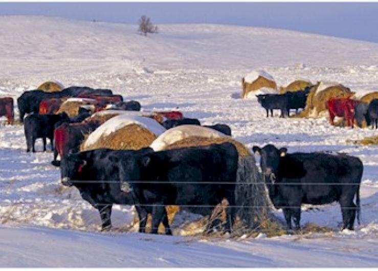 Winter bale grazing