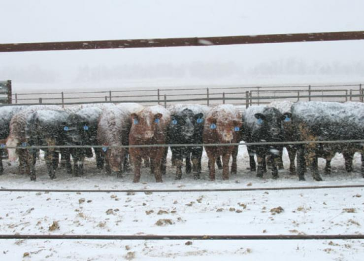 Winter cattle feeding