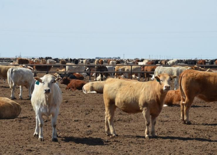 BT_Feedlot_Cattle_Texas
