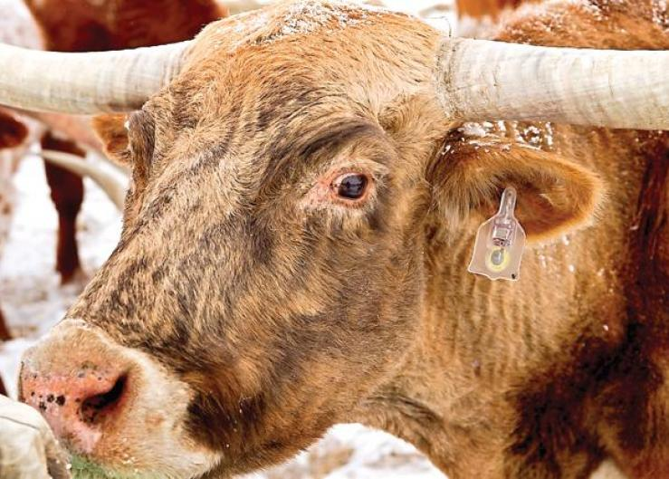 A longhorn herd is part of a beta testing program of a 'Fitbit' like chip tagged to the cattle's ear and transmits bio-data through a smart phone app.