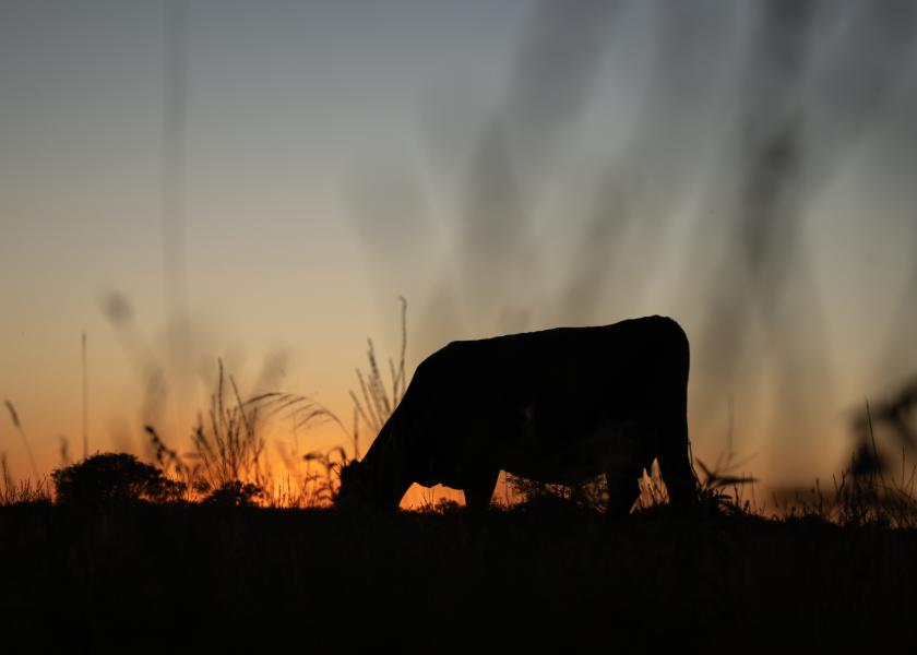 Cow at sunset