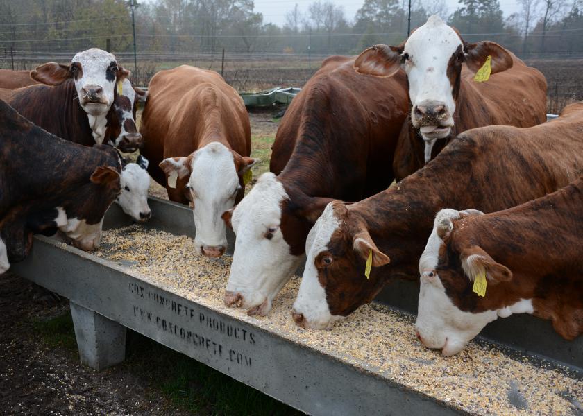 Grain feeding cows