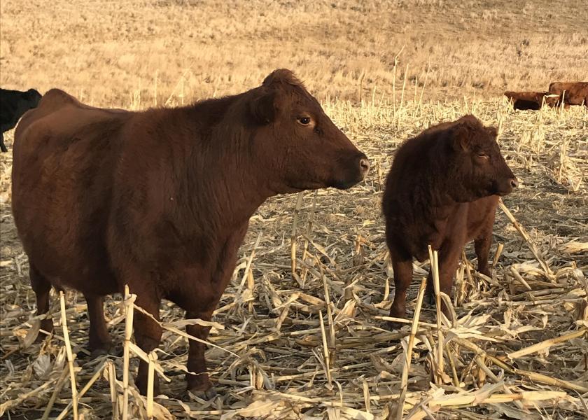 Cow and calf on corn stalks