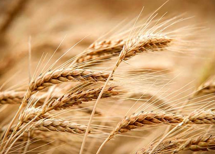 2021 wheat crop