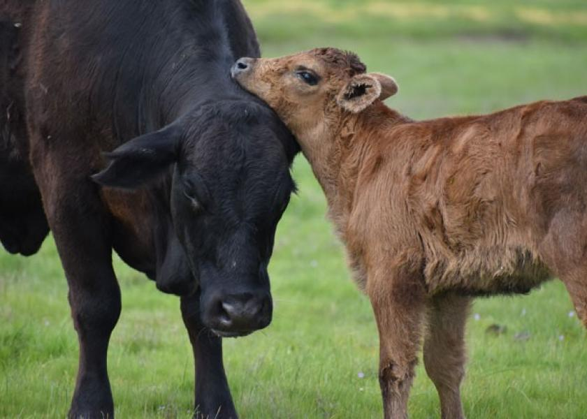 Too many cow-calf producers still ignore the benefits of preconditioning.