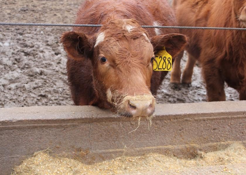 Cattle standing at a feed bunk after a recent rain.