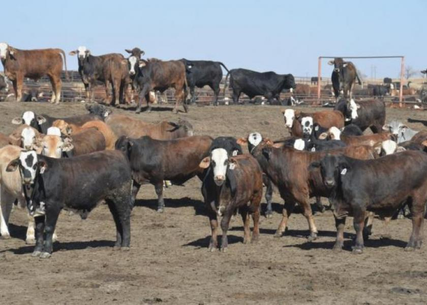 Cash cattle prices higher
