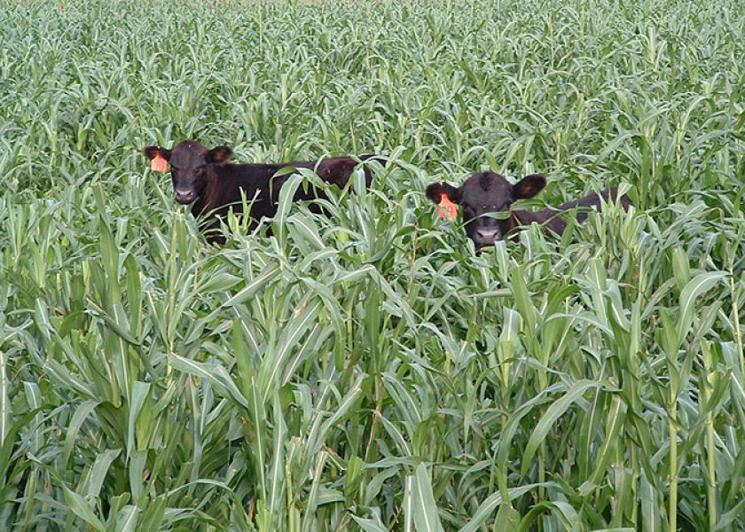 BT_Calves_Grazing_Cover_Crop_Millet