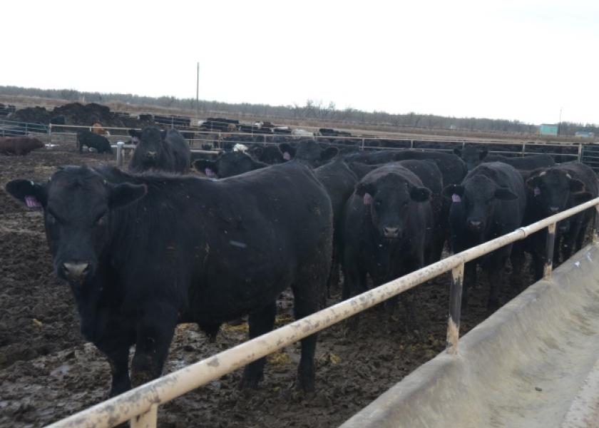BT_Feeder_Cattle