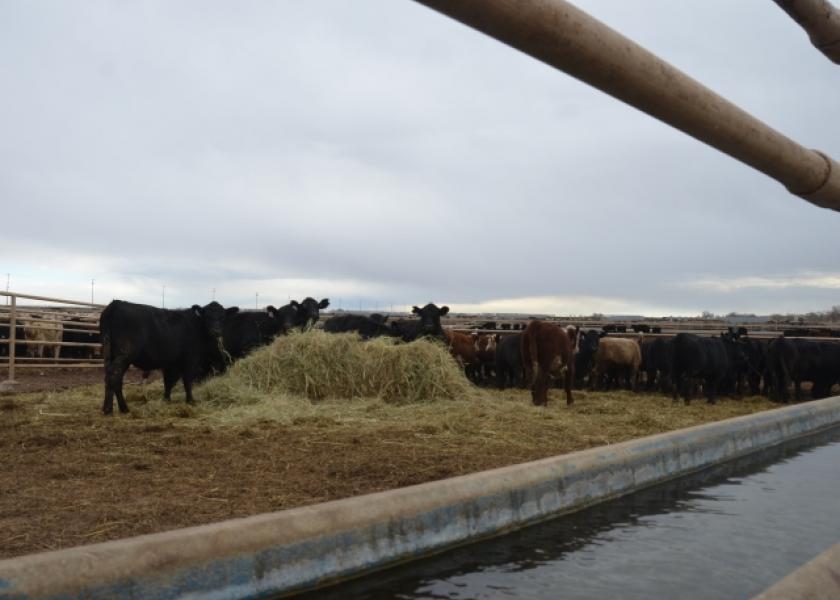 BT_Feedlot_Backgrounding_Cattle