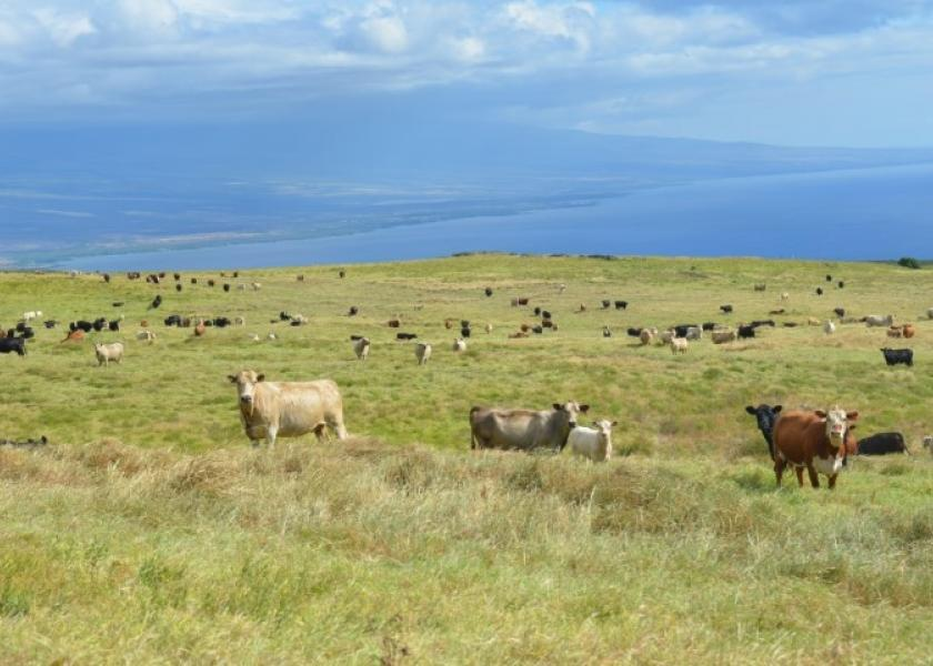 BT_Hawaii_Cattle