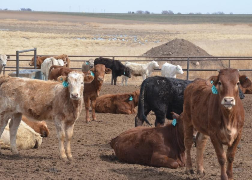 BT_Mexican_Feedlot_Cattle