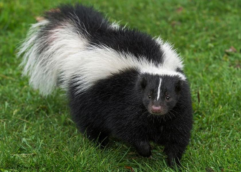 Skunks and other wildlife, such as bats and foxes, are the most common reservoirs of rabies.