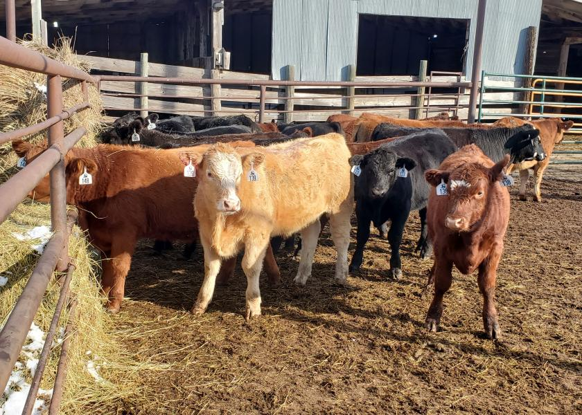 Backgrounding calves