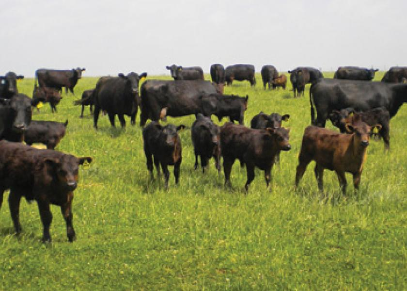 beef cattle prices